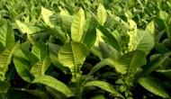 烟草也有正面新闻:加拿大PlantForm公司利用烟叶开发曲妥珠单抗生物仿制药