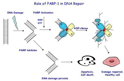 parp1-inhibitors