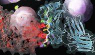 更顽强的T细胞,正交IL-2/CD122体系