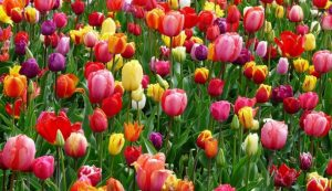 tulips-bed-colorful-color-69776-e1519636582671-910x524