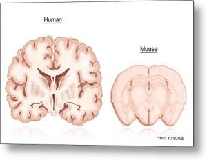 human-and-mouse-brain-comparison-evan-oto